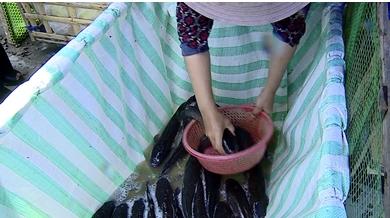 Cá lóc nuôi thương phẩm giá bán lẻ dao động từ 35-38 ngàn đồng/kg